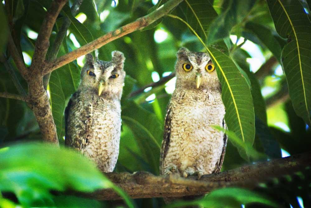 Costa Rica Owls