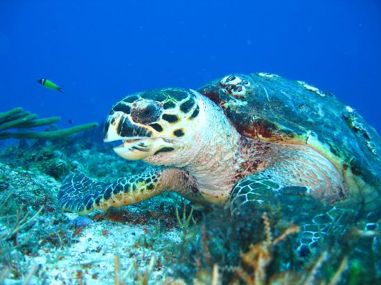Playa-del-Carmen Turtle