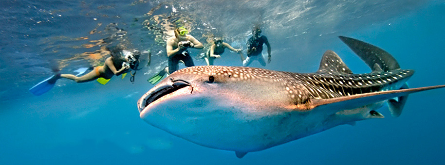 swim with whalesharks