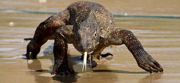 komodo dragon group tours