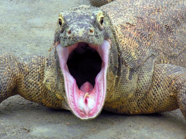 Komodo Dragon funny