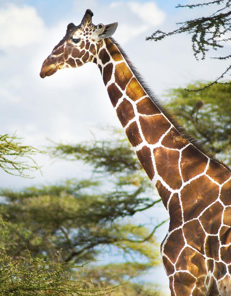 shaba giraffe