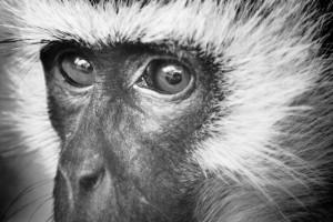 Africa monkey face