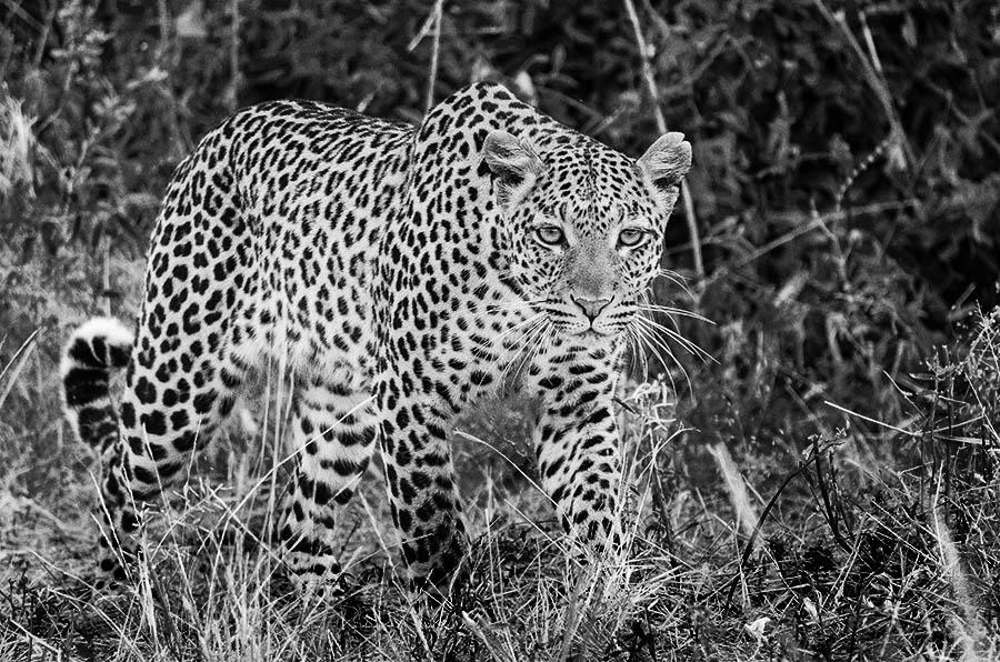 leopard on kenya safari