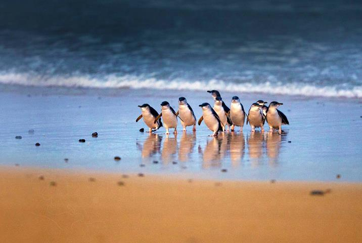 Australia Penguins