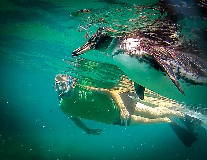 snorkel with penguins