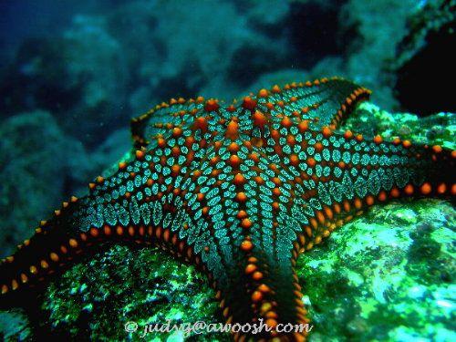 galapagos sea star