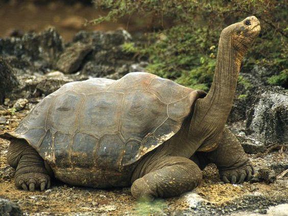 Exctint Tortoise