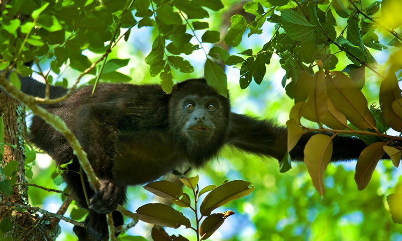 tikal monkeys