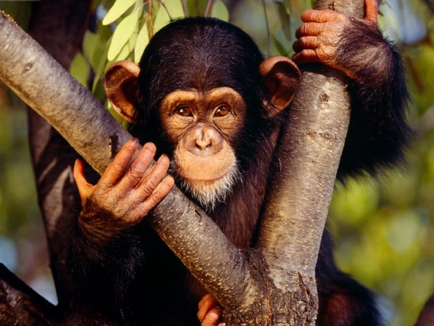 uganda chimp safaris