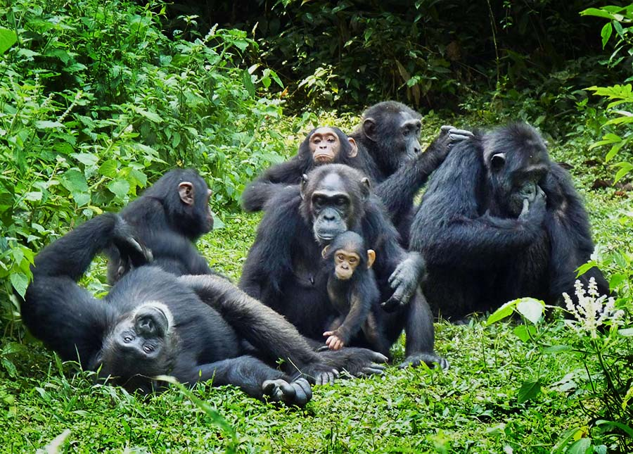 chimp group tours