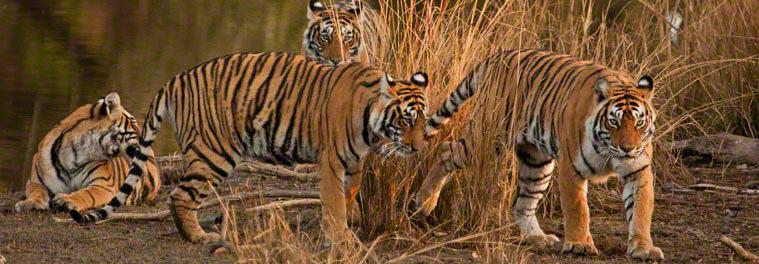 tiger safaris india