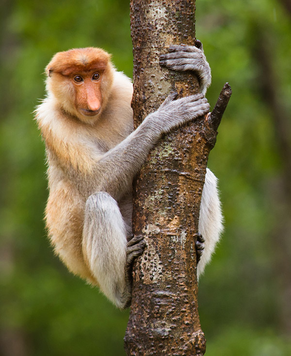 borneo monkey tours