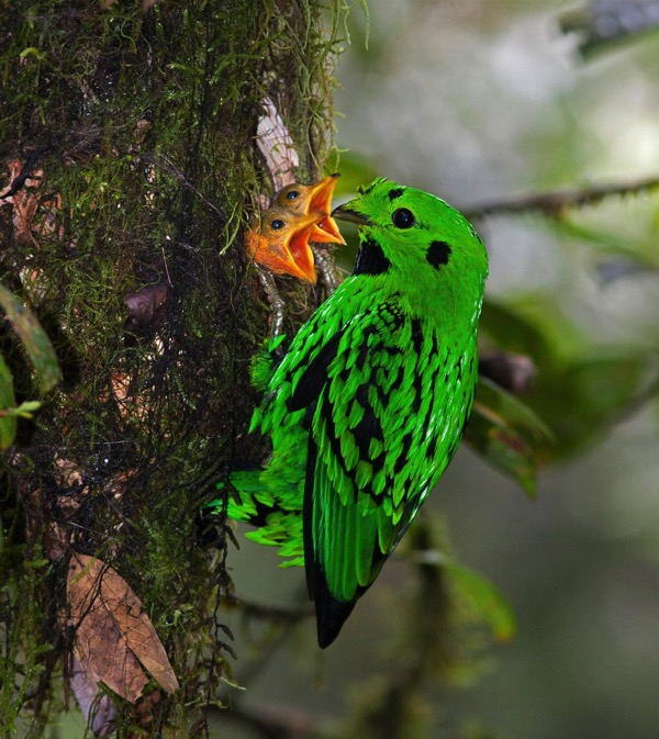 rare birds borneo