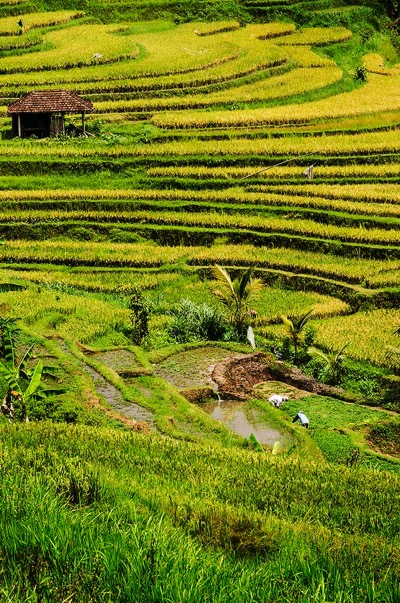 bali rice terrace tours